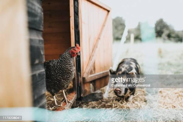 farmyard scene - nutztier stock-fotos und bilder