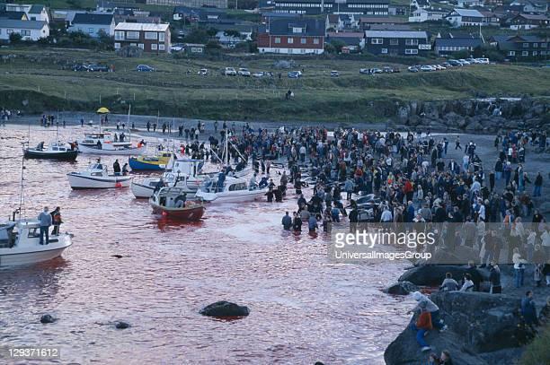 Faroe Islands Streymoy Island Torshavn. Grindadrap traditional killing of pods of pilot whales. Crowds gathered on beach to watch flotilla of small...