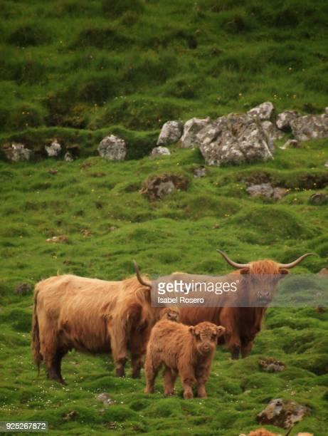 Faroese cattle
