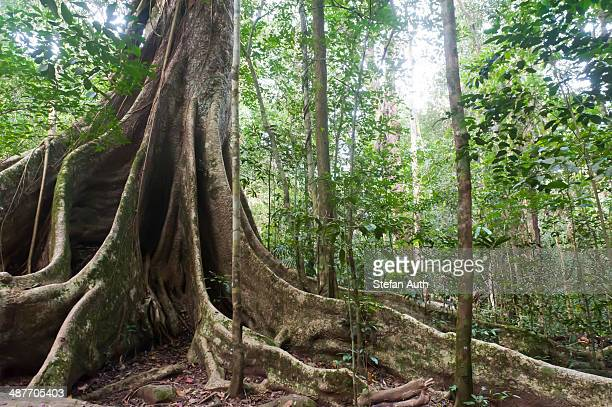 Far-reaching buttress roots under a canopy, giant tree, jungle, tropical rain forest, Khao Yai National Park, Nakhon Ratchasima Province, Thailand