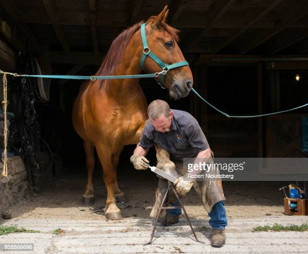 Farrier Don Chandler files the hoof of Fern August 19 one of two draft horses owned by the Merck Forest and Farmland Center in Rupert Vermont...