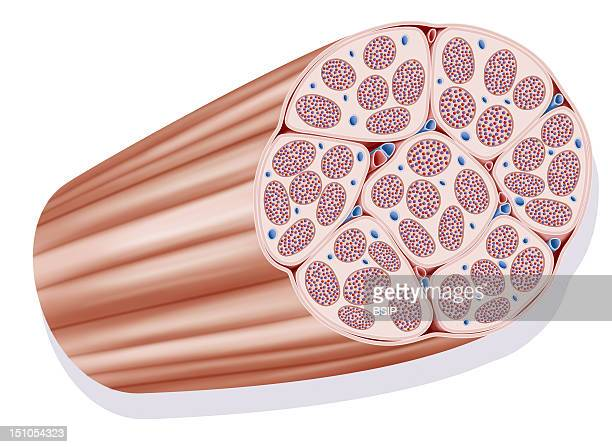 Fascicle Muscle Representation Of A Fascicle Muscle A Muscle Is Constituted Of Various Fascicle Muscles Constituted Of Various Fiber Muscles Largely...