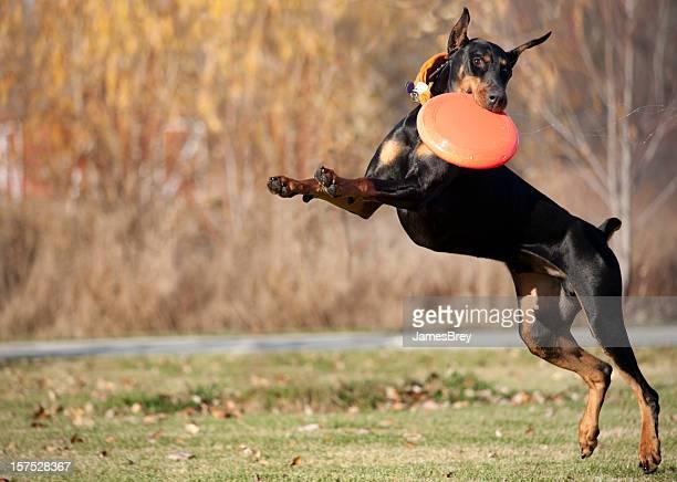 fast dobermann hund laufen, springen und fangen frisbee-scheibe - dobermann stock-fotos und bilder