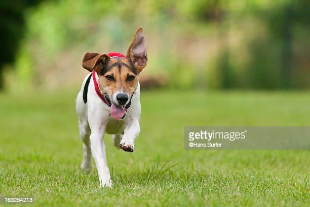 Fast Jack Russel Terrier!