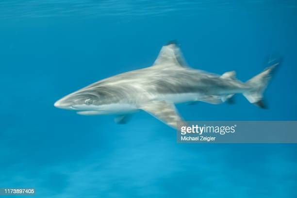 fast moving blacktip reef shark - aquatic mammal stock pictures, royalty-free photos & images