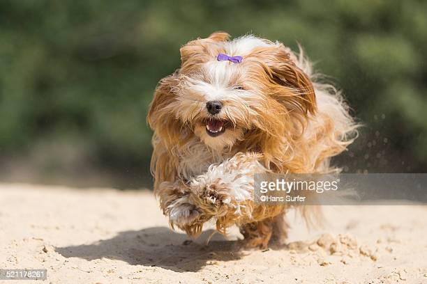 Fast red Havanese on yellow sand