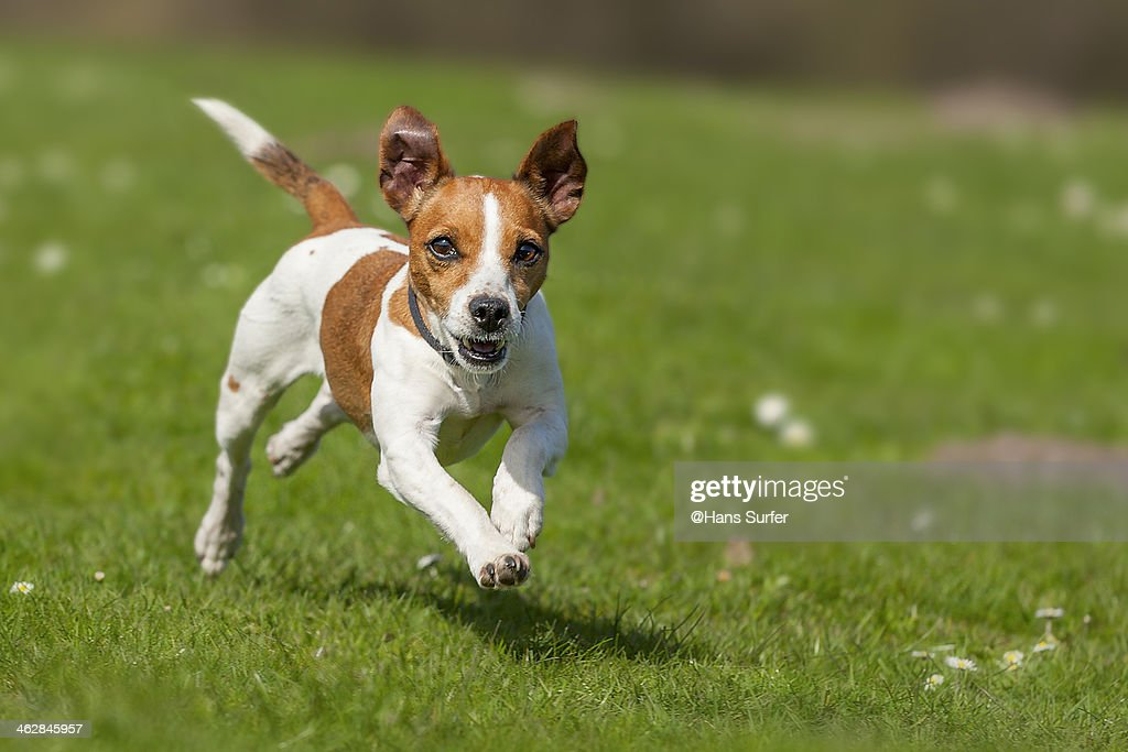 Fast rinning Jack Russel Terrier! : Stock Photo