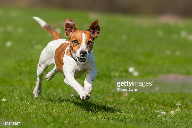 fast rinning jack russel terrier! - jack russell terrier photos et images de collection