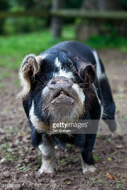 Fat bellied pig sow Coony Coony breed from New Zealand at Ferme de l'Eglise Normandy France
