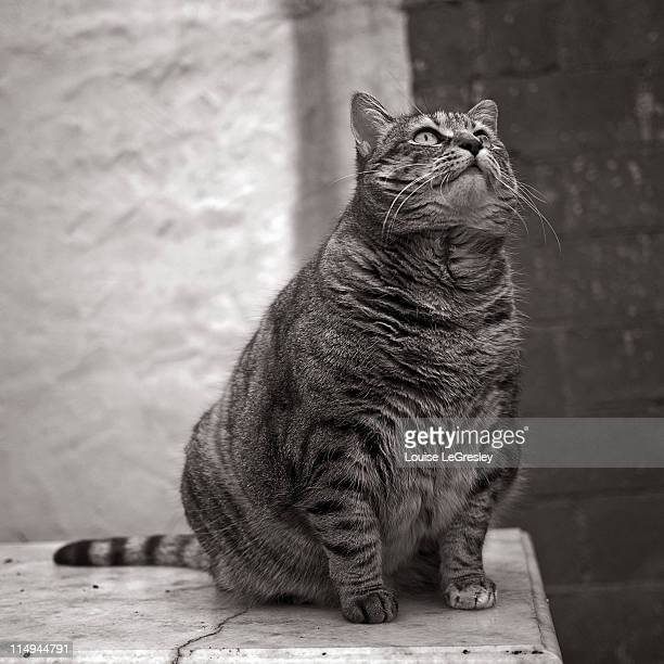 fat cat - fat cat stock photos and pictures