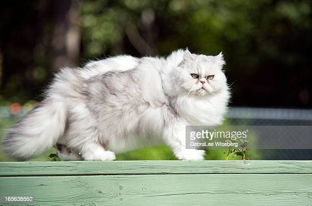 Fat Cat Stock Photos And Pictures Getty Images
