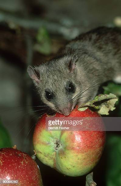 fat dormouse: glis glis  feeding on apple at night  jura mou ntains, bavaria - ghiro foto e immagini stock