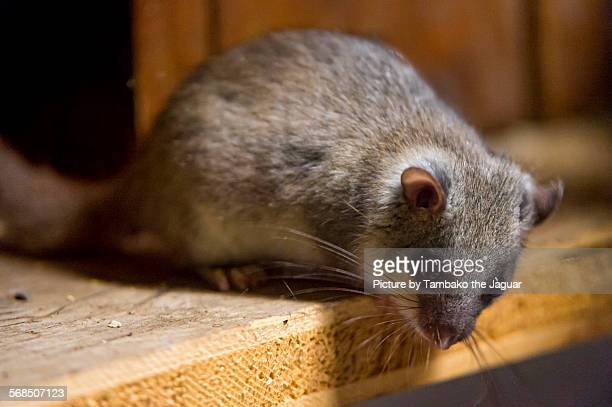 fat dormouse on a wooden board - ghiro foto e immagini stock