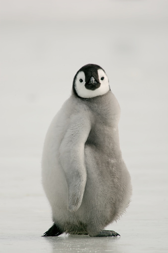 Fat Emperor Penguin Chick 94005382