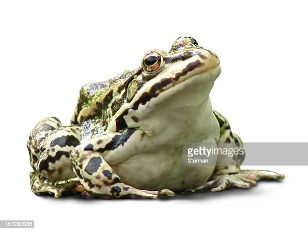fat frog isolated on white background