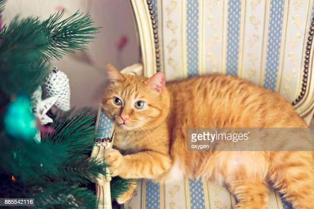Fat Ginger cat is relaxing near christmas tree