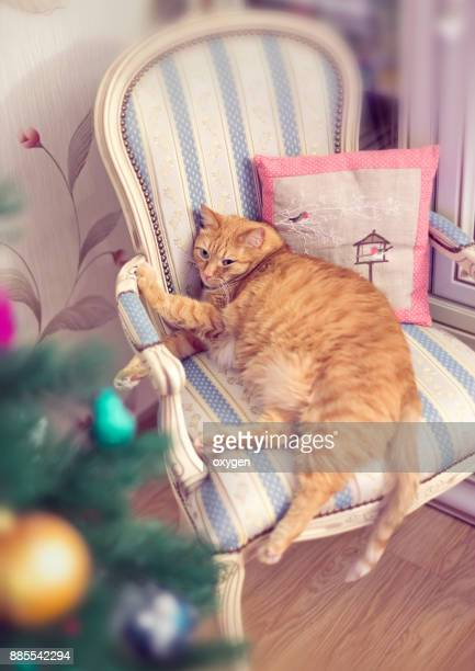 fat ginger cat is relaxing near christmas tree - male stripper stock pictures, royalty-free photos & images