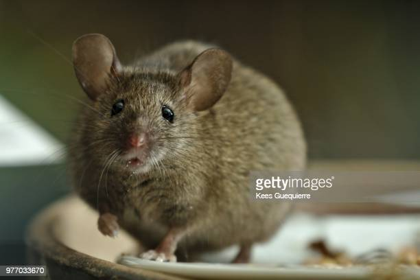 fat mouse - field mouse stock photos and pictures