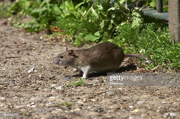 Grasa Noruega marrón ratas en scraps Rattus norvegicus de estar