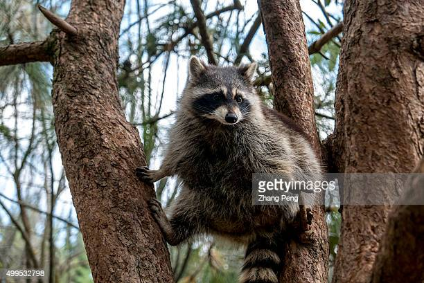 A fat raccoon stands on the tree The raccoon is a highly intelligent carnivore