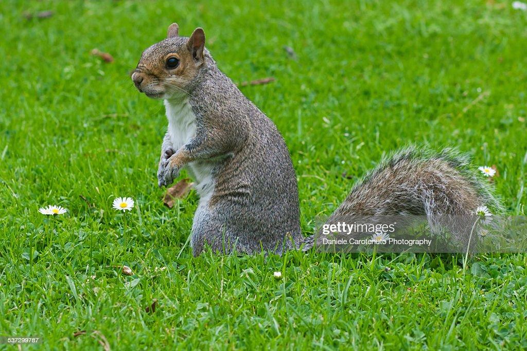 Fat squirrel : Stock Photo