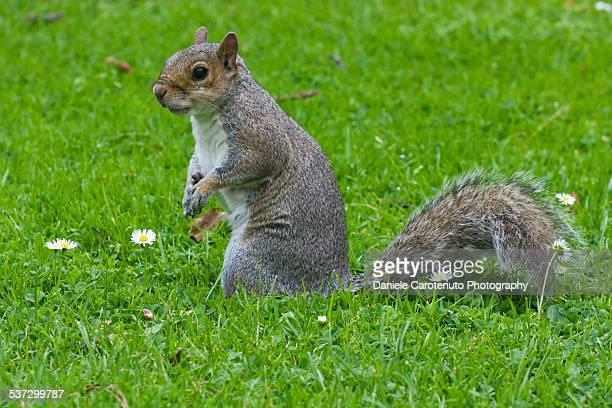 fat squirrel - daniele carotenuto stock-fotos und bilder