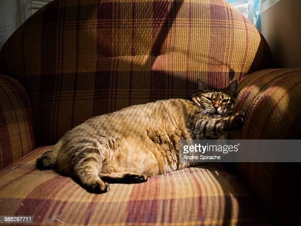 fat tabby cat lying on an armchair - fat cat stock photos and pictures