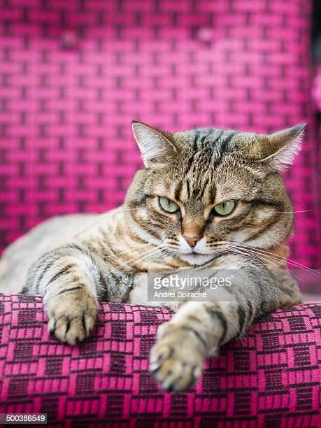 Fat tabby cat starring at camera