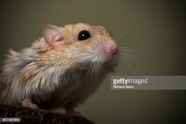 fat tailed gerbil - gerbil stock pictures, royalty-free photos & images
