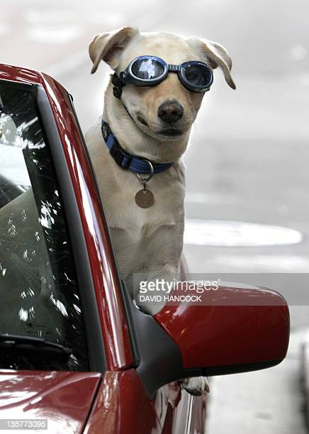 FaTass a fiveyearold LabradorWeimaraner crossbreed rides a car with owner Glen Upton in Sydney 21 March 2006 AFP PHOTO/DAVID HANCOCK