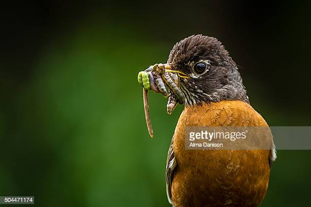 Father american robin with food in his beak