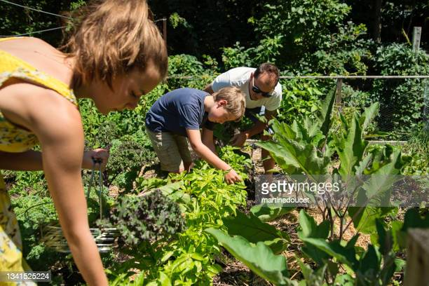 """father and children harvesting in small family garden. - """"martine doucet"""" or martinedoucet stock pictures, royalty-free photos & images"""