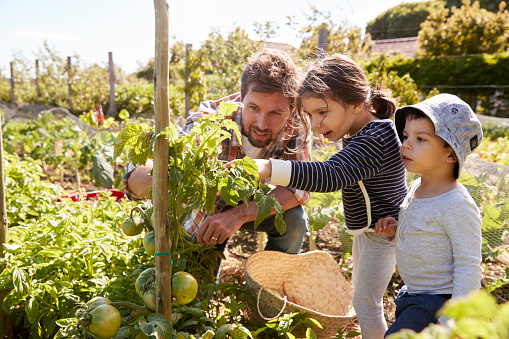 Father And Children Looking At Tomatoes Growing On Allotment 692835402