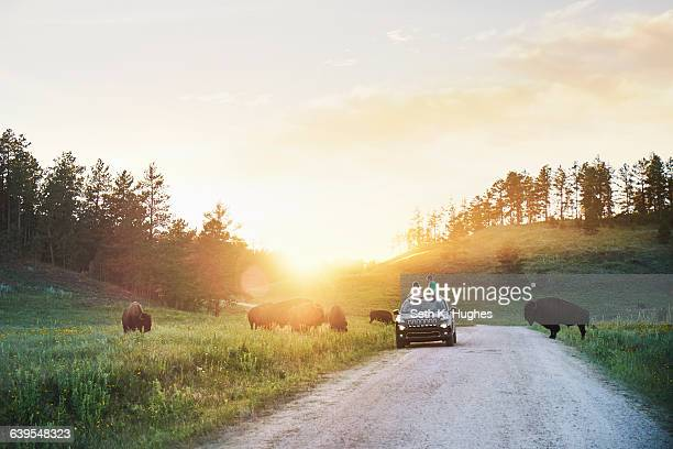 father and daughter in car watching bison grazing in meadow, custer state park, south dakota - south dakota stock photos and pictures