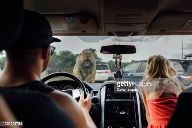 father and daughter in drive through safari with baboon on car - baboon stock pictures, royalty-free photos & images