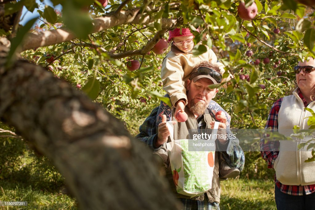 Father and daughter picking apples from tree : Stock Photo