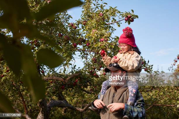 father and daughter picking apples from tree - heshphoto stock pictures, royalty-free photos & images
