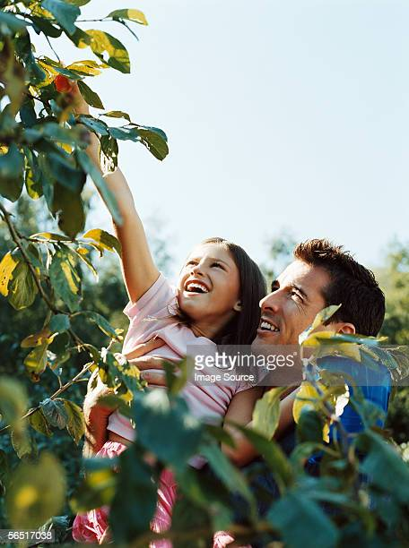 Father and daughter picking fruit