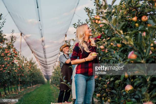 father and daughter picking up apples - fruit farm stock photos and pictures