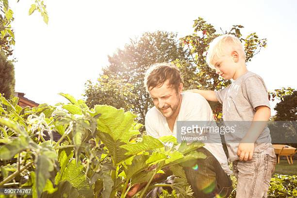 Father and his little son harvesting courgettes