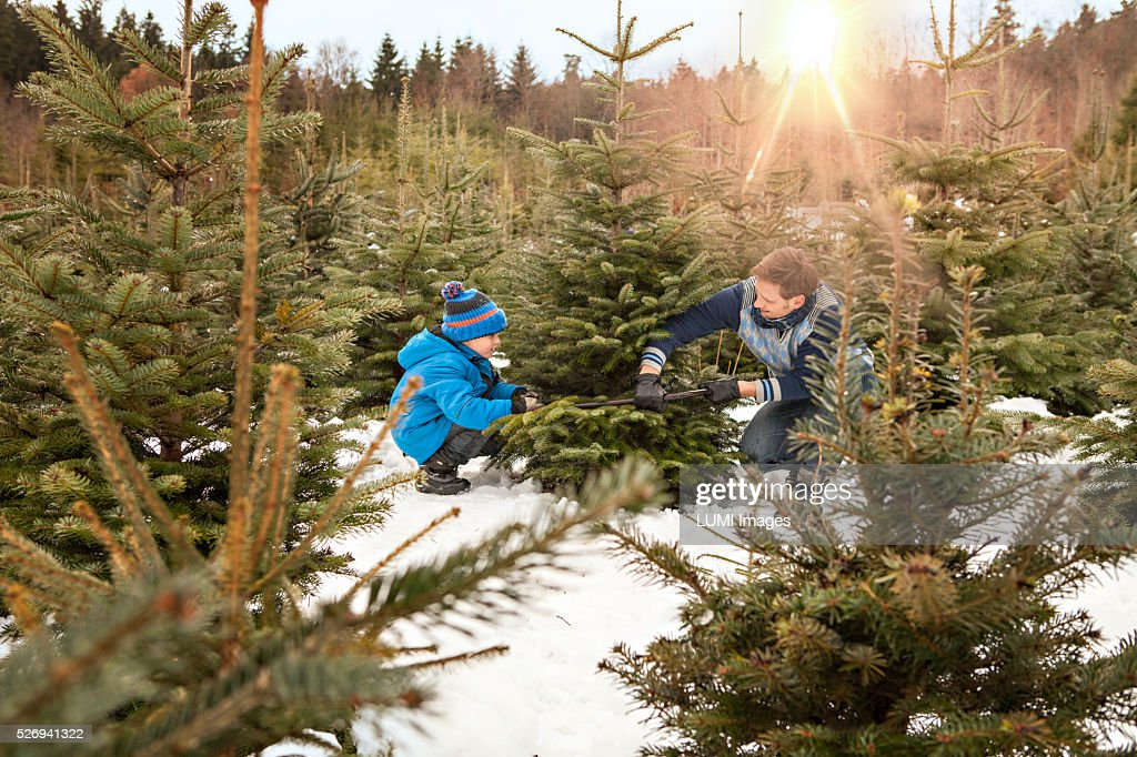 Father and son cutting their Christmas tree in the forest, Bavaria, Germany : Stock Photo