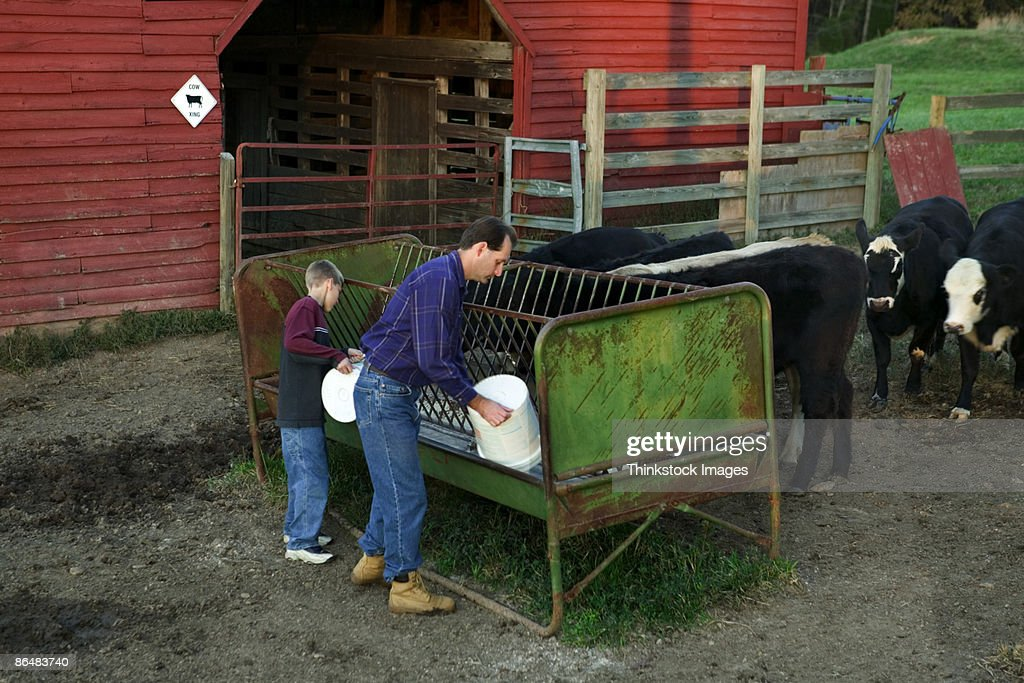 Father and son feeding cows : Stock Photo