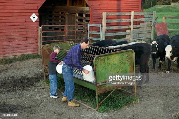 Father and son feeding cows