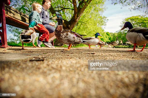 father and son feeding the ducks - duck bird stock photos and pictures