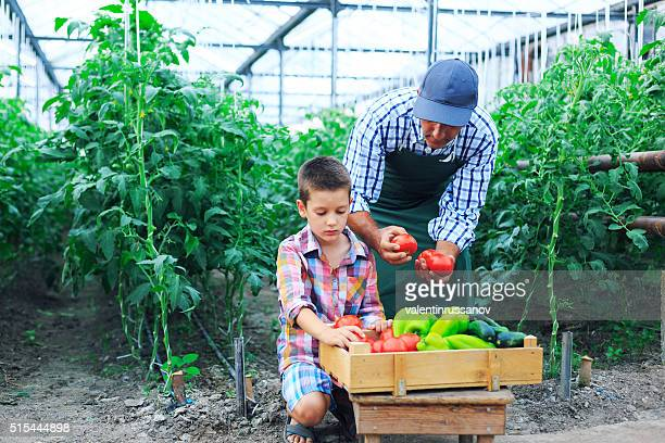 Father and son harvest vegetables from greenhouse
