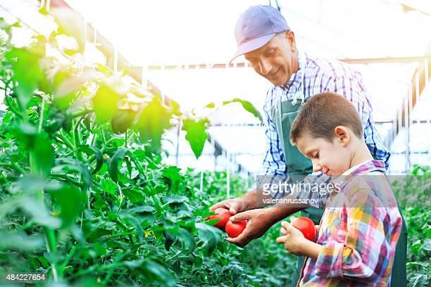Padre e hijo cosechar hogar base de tomates en Greenhouse