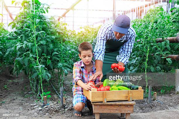 Father And Son Harvesting Home Grown Vegetables In Greenhouse