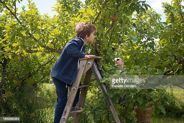 """father and son picking apples in the orchard - """"danielle donders"""" stock pictures, royalty-free photos & images"""