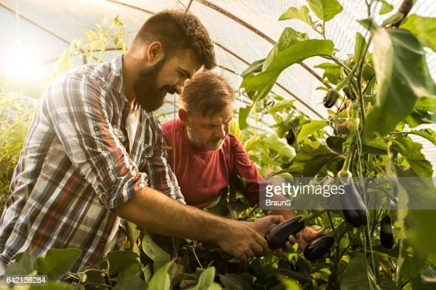Father and son picking eggplants in their greenhouse.