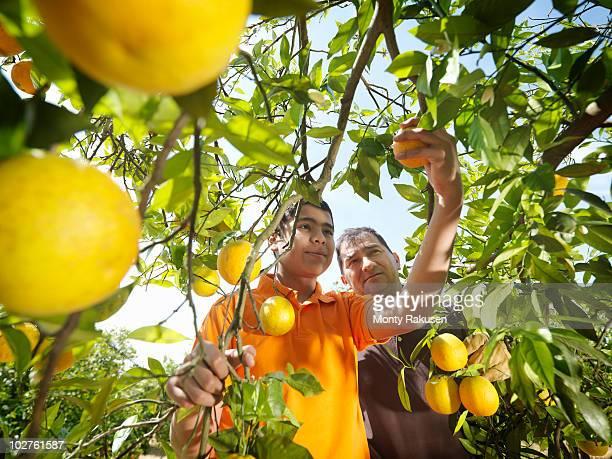 father and son picking oranges - orange farm fotografías e imágenes de stock